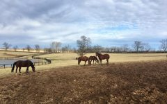 Some thoroughbred mares enjoy their daily turnout at Mereworth farm in Lexington.
