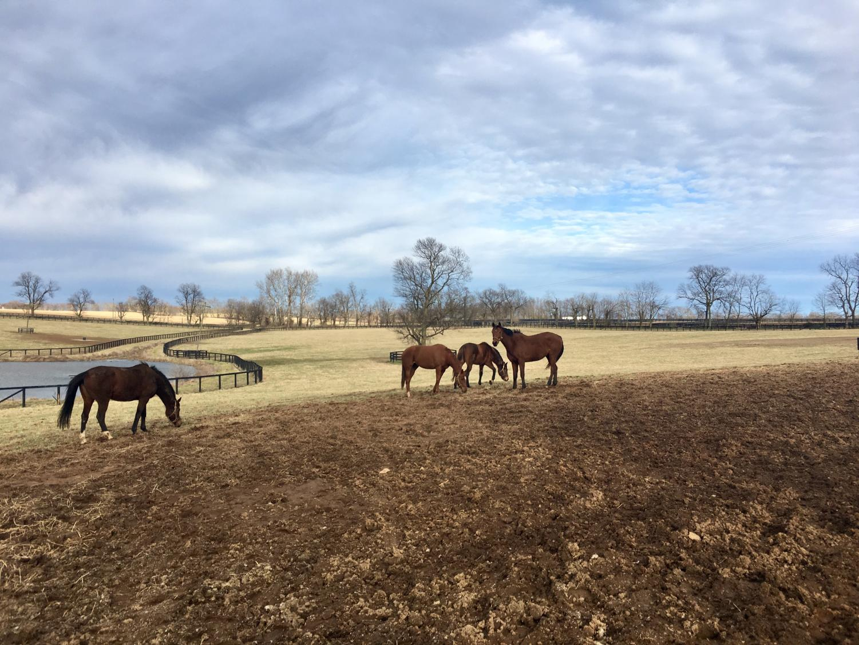 Some thoroughbred mares enjoy their daily turnout at Mereworth farm in Lexington.