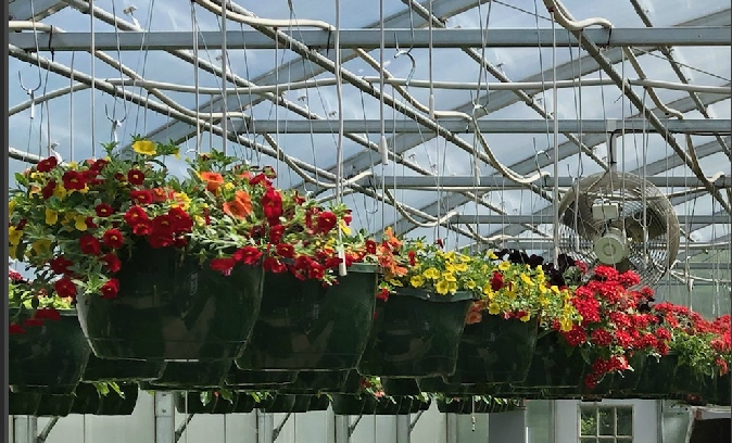 Brightly-colored+plants+hanging+in+the+greenhouse.+Photo+by+Tanyea+Ramirez.