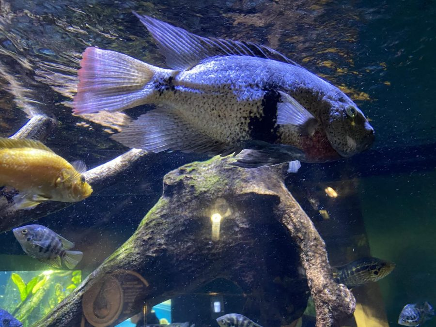 Pictured is a beautiful Tailbar Cichlid. These beautiful fish have a lifespan of about 8 years and can be found in Central America. Cichlid's diet requires vegetable matter and meaty foods!