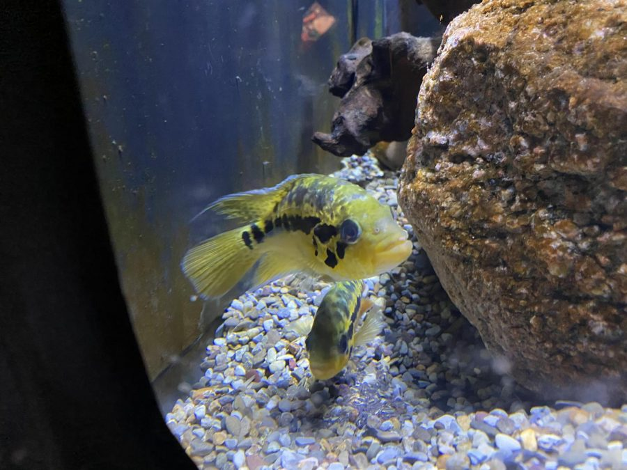 Calling all Woodford folks! This fish's name is called the Yellow Jacket Cichlid. These fish can be found along the Atlantic Scope in Mexico, Belize, Honduras, and Guatemala. They are Omnivores and grow up to 28 centimeters!