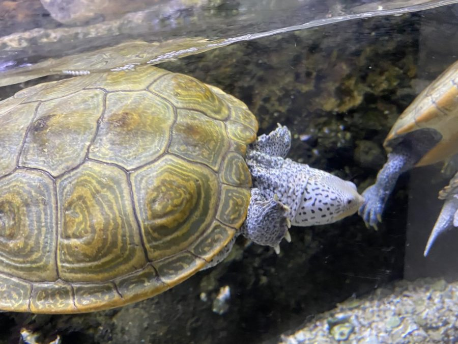 This gorgeous turtle is the Diamondback Terrapin! Their diet consists of snails, crabs, mussels, fish and worms! Their skin is thick enough to block out the salt from water. This is why they can be found in both saltwater and freshwater areas.