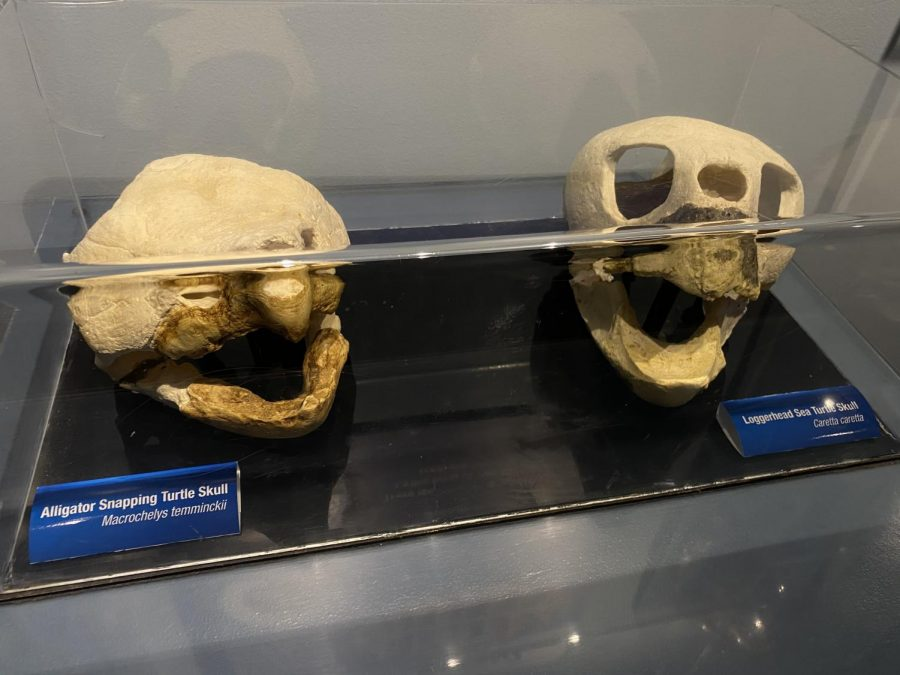 These are two shells of the Alligator Snapping Turtle and the Loggerhead Sea Turtle!