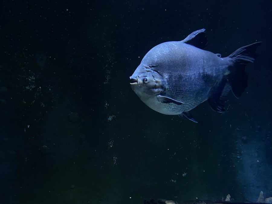 This huge fish is the Pacu! It feeds off of insects and plant material! It can be found in the Amazon and Orinoco River Basins! They can even grow up to 50 pounds!