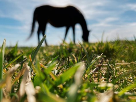 A pregnant Thoroughbred mare grazes on a sunny spring day.