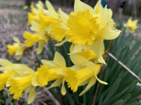 A close-up of some yellow daffodils. The former Huntertown residents cultivated these in backyard flower gardens but now they grow wild all over the site.