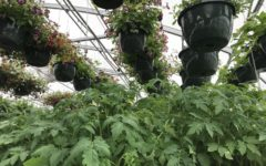 Tomatoes and hanging floral baskets located in the greenhouse. Photo by Ashley Courtney (12)