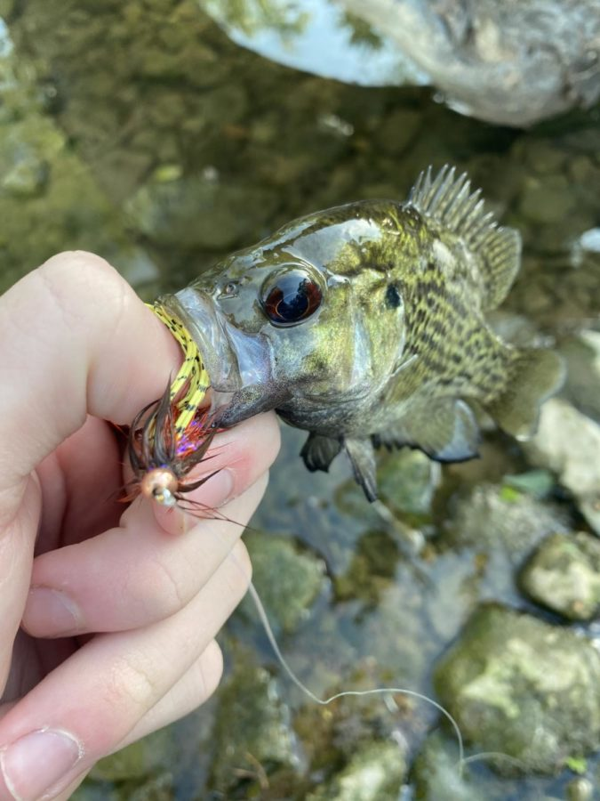 Even the little rock bass love this fly!